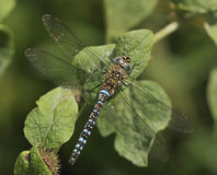 Migrant Hawker Dragonfly Royalty Free Stock Photography