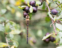 Migrant hawker dragonfly (Aeshna mixta) at rest on blackthorn Stock Photography