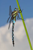 Migrant Hawker Dragonfly side view. Migrant Hawker Dragonfly sitting upon cloudy sky side view royalty free stock photo