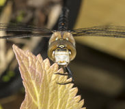 Migrant hawker dragonfly Royalty Free Stock Photo
