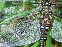 Migrant hawker in early morning dew Royalty Free Stock Photo