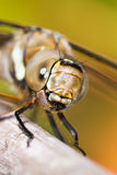 Migrant Hawker female portrait Royalty Free Stock Photos