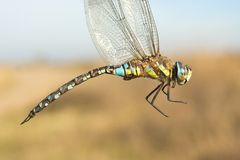 Migrant hawker, male / Aeshna mixta Stock Photo