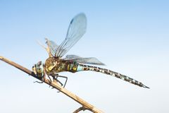 Migrant hawker, male / Aeshna mixta Royalty Free Stock Photography