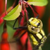 Migrant Hawker resting. The Migrant Hawker resting on Fuchsia Magelanica Stock Photography