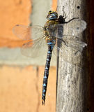 Migrant hawker Stock Photo