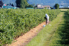Migrant Worker Picking Berries Royalty Free Stock Image