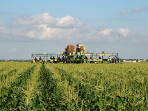 Migrant workers. Workers harvesting corn in a South Florida field. These operations sometimes employ migrant workers Stock Photo