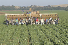 Migrant workers harvest crops Stock Image