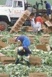 Migrant workers harvest crops