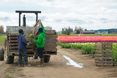 Migrant Workers Loading Flowers on Tractor Trailer. MOUNT VERNON, WA - APR 10, 2014: Hispanic migrant workers loading onto tractor trailer freshly picked flowers stock photo