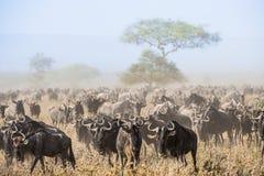 Migração do gnu O rebanho de antílopes da migração vai no savanna empoeirado Os gnu, igualmente chamados gnu ou wildebai, são a Foto de Stock Royalty Free