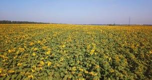 Migrar sobre o campo com girassóis em um dia quente filme
