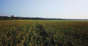 Migrar sobre o campo com milho em um dia quente video estoque