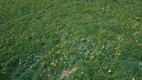 Migrar sobre o prado verde de dentes-de-leão amarelos no verão video estoque