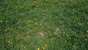 Migrar sobre o prado verde de dentes-de-leão amarelos no verão filme