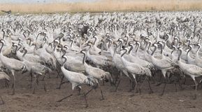 Migrate of birds. Migrating grey cranes at Hula lake reserve, Israel at spring on the way back to Europe Stock Photos