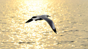 Migrate seagull in sunset. Royalty Free Stock Image
