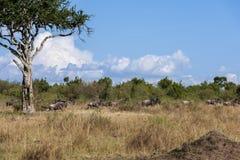 Migratie in Masai Mara Kenya royalty-vrije stock foto's