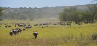 Migratie van de buffels Wildebeest op de vlaktes van Afrika Royalty-vrije Stock Foto