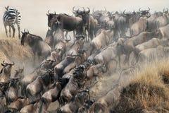 Migratie van het meest wildebeest stock foto