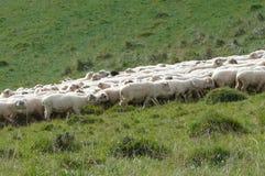 Migratie 2 van schapen Royalty-vrije Stock Foto's