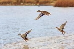 Migratie van wilde eenden De wilde eenden vliegen Stock Afbeeldingen
