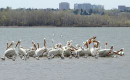 Migrating American white pelicans in Cherry Creek State Park, Denver, Colorado royalty free stock photos