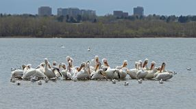 Migrating American white pelicans in Cherry Creek State Park, Denver, Colorado. Migrating American white pelicans Pelecanus erythrorhynchos in Cherry Creek State royalty free stock photography