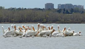 Migrating American white pelicans in Cherry Creek State Park, Denver, Colorado stock photos