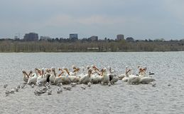 Migrating American white pelicans in Cherry Creek State Park, Denver, Colorado. Migrating American white pelicans Pelecanus erythrorhynchos in Cherry Creek State stock photos