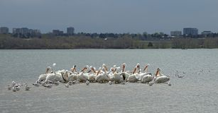 Migrating American white pelicans in Cherry Creek State Park, Denver, Colorado. Migrating American white pelicans Pelecanus erythrorhynchos in Cherry Creek State stock images