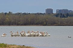Migrating American white pelicans in Cherry Creek State Park, Denver, Colorado stock photography