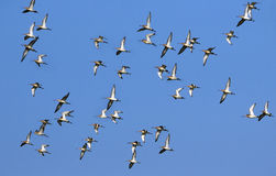 Migrating Birds Stock Images