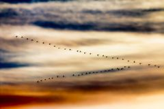 Migrating birds. Flock of Whooper Swans dramatic evening sky Royalty Free Stock Image
