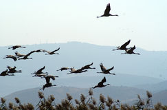 Migrating birds over lake at spring and autumn. Cranes and pelicanes take a rest over lake in Israel on their way to Africa Stock Image