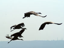 Migrating birds at  autumn. Migrating cranes and pelicans Royalty Free Stock Photo