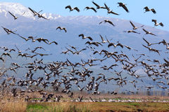 Migrating birds pastoral landscape Stock Photo