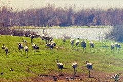 Migrating birds pastoral landscape Stock Photography