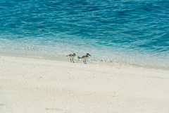 Migrating Birds on tropical Island. Two small migrating birds living in summer in antarctica and flying in winter to pacific ocean. Seen on Cook Islands &#x28 Royalty Free Stock Photo