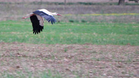 Free Migrating Black And White Stork Stock Images - 17288834