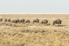 Migrating blue wildebeests Stock Photo