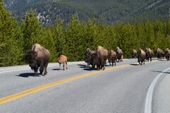 Free Migrating Buffalo In Yellowstone National Park. Stock Image - 212094361