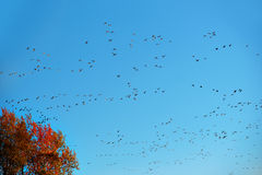 Migrating canada geese Stock Photo