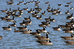 Migrating canadian geese Royalty Free Stock Photo