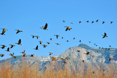 Migrating Canadian Geese Royalty Free Stock Images