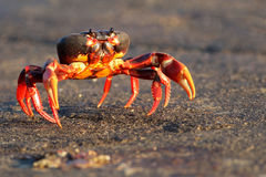 Migrating crab Cuba Gecarcinus ruricola Stock Image
