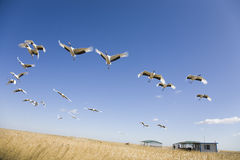 Migrating cranes Royalty Free Stock Images