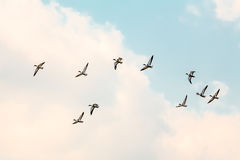 Migrating ducks Stock Photography