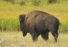migrating för bison arkivbild